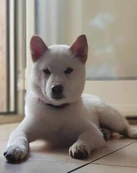 Shiba blanc