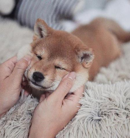 Le Shiba Inu Bébé